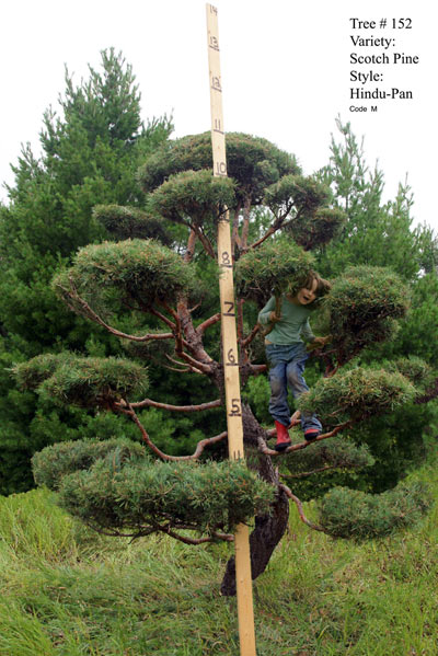 Scotch Pine Topiary tree #152