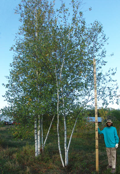 22' and  20' Whitespire Birch Clumps