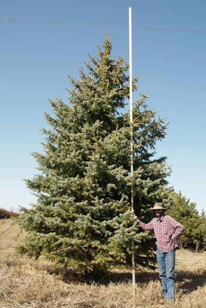 20' Colorado Blue Spruce