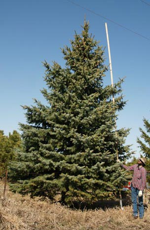 20' Colorado Blue Spruce other side