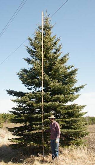 24' Colorado Blue Spruce