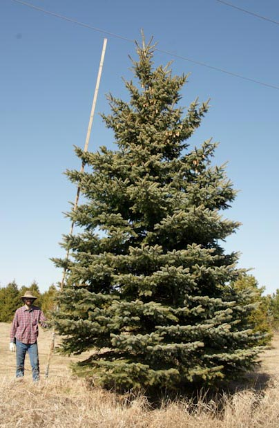 24' Colorado Blue Spruce other side
