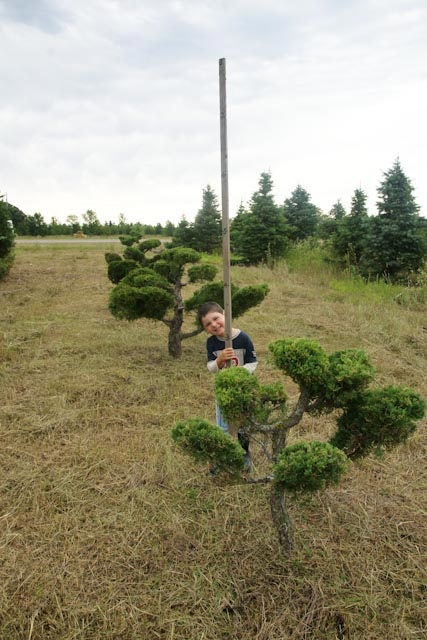 A Row of 3' Topiary Eastern Red Cedars