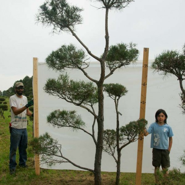 scotch pine topiary tree 468 code c  12-13 ft