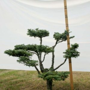 Colorado Spruce Topiary Tree #248