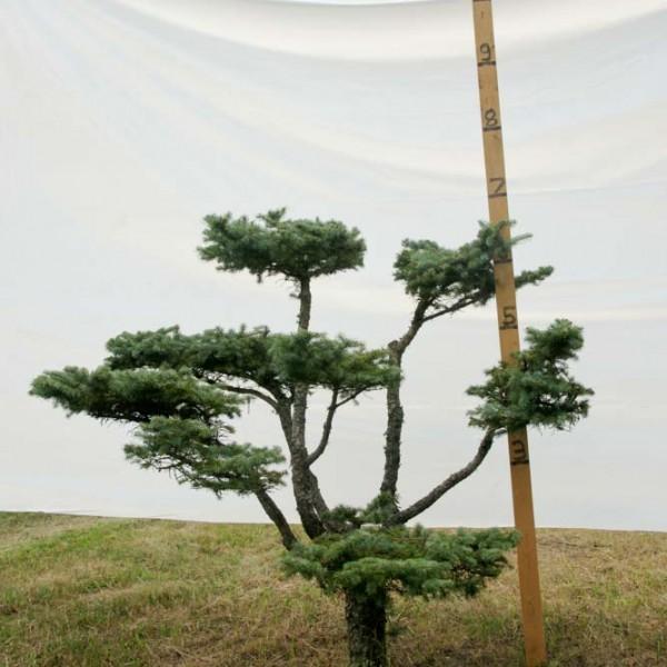 Colorado Spruce Topiary Tree #248