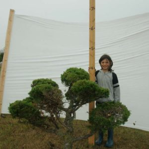 Juniper Eastern Red Cedar Topiary Tree #282