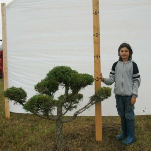 Juniper Eastern Red Cedar Topiary Tree #284