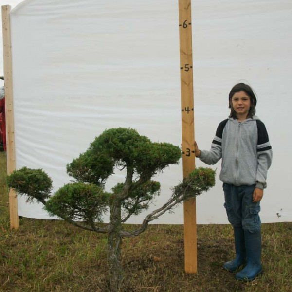 Juniper Eastern Red Cedar Topiary Tree #284