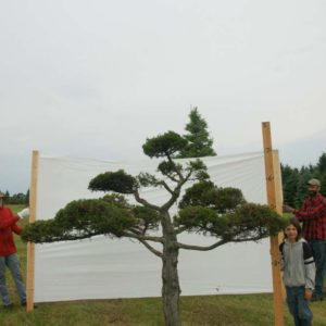 Juniper Eastern Red Cedar Topiary Tree #289
