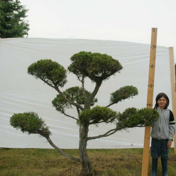 Juniper Eastern Red Cedar Topiary Tree #291