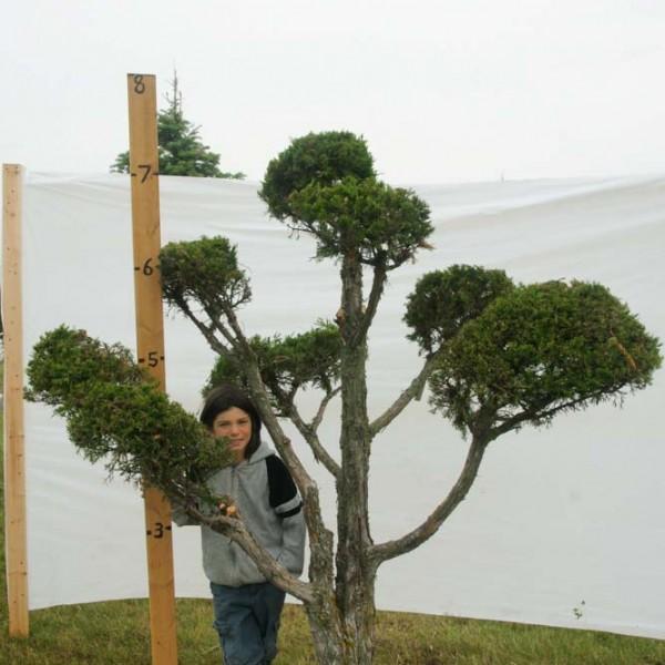 Juniper Eastern Red Cedar Topiary Tree #295