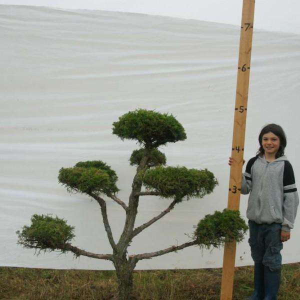 Juniper Eastern Red Cedar Topiary Tree #297