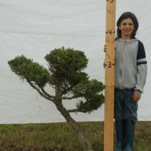 Juniper Eastern Red Cedar Topiary Tree #300