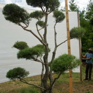 Scotch Pine Topiary Tree #106