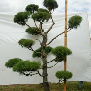 Scotch Pine Topiary Tree #108