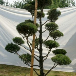 Scotch Pine Topiary Tree #121