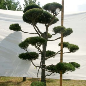 Scotch Pine Topiary Tree #123