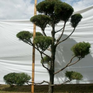 Scotch Pine Topiary Tree #124