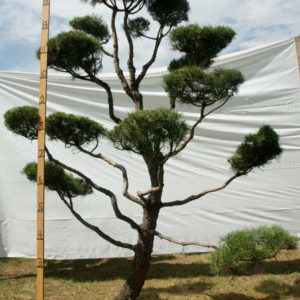 Scotch Pine Topiary Tree #125