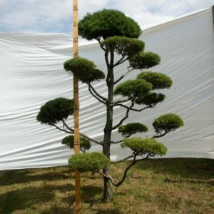 Scotch Pine Topiary Tree #130