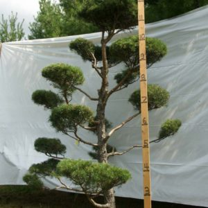 Scotch Pine Topiary Tree #137