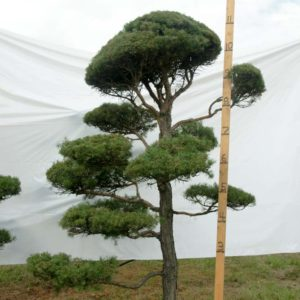 Scotch Pine Topiary Tree #14