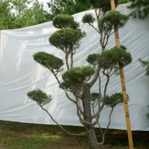 Scotch Pine Topiary Tree #141