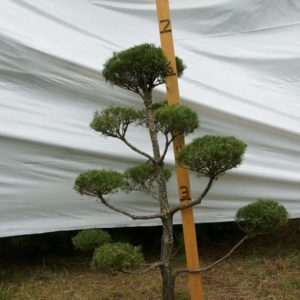 Scotch Pine Topiary Tree #147