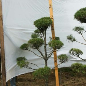 Scotch Pine Topiary Tree #156