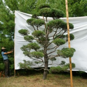 Scotch Pine Topiary Tree #162