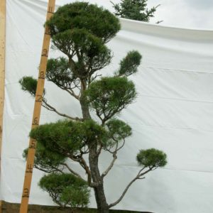 Scotch Pine Topiary Tree #17