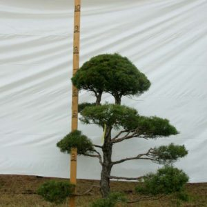 Scotch Pine Topiary Tree #2