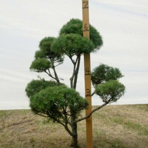 Scotch Pine Topiary Tree #206