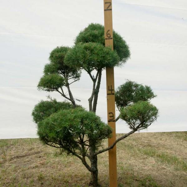 Scotch Pine Topiary Tree #206