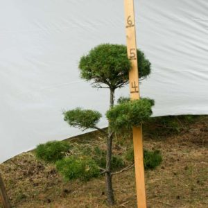 Scotch Pine Topiary Tree #212