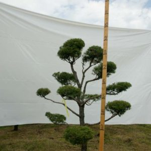 Scotch Pine Topiary Tree #22