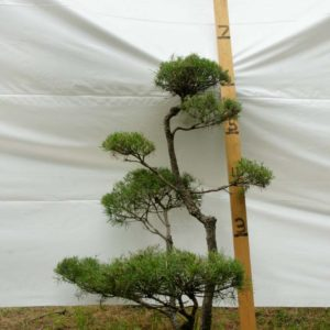 Scotch Pine Topiary Tree #228