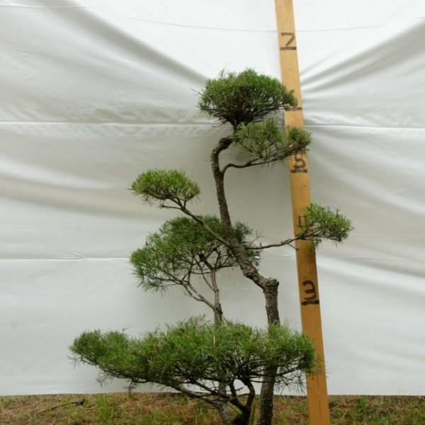 Scotch Pine Topiary Tree #228