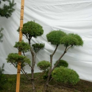 Scotch Pine Topiary Tree #241