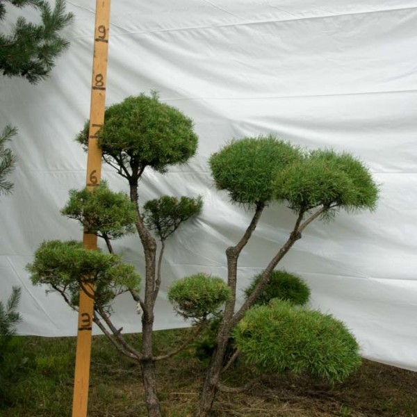 Scotch Pine Topiary Tree #241