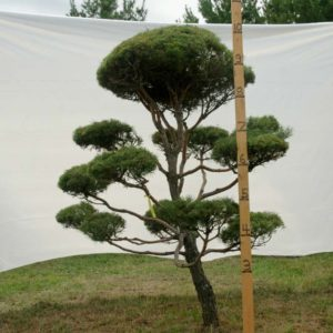 Scotch Pine Topiary Tree #29