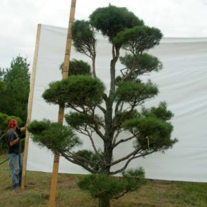 Scotch Pine Topiary Tree #3