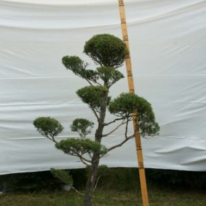 Scotch Pine Topiary Tree #31