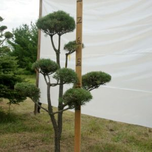 Scotch Pine Topiary Tree #33