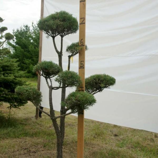 Scotch Pine Topiary Tree #33