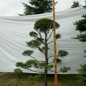 Scotch Pine Topiary Tree #34