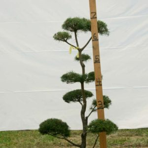 Scotch Pine Topiary Tree #35
