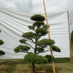 Scotch Pine Topiary Tree #49