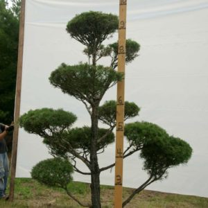 Scotch Pine Topiary Tree #50